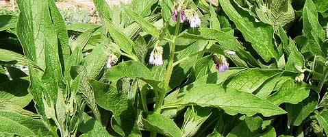 La cousoude, plante médicinale à forte teneur en alcaloides