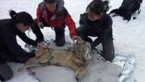 Photo www.ferus.fr, Une louve capturée dans le Mercantour, mars 2010, ©Gérard Millischer